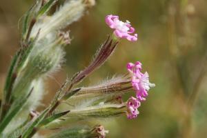 Silene bellidifolia