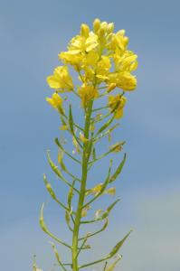 Sinapis alba subsp. alba 13