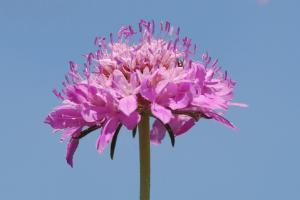 Sixalis atropurpurea subsp. grandiflora