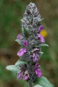 Stachys germanica subsp. salviifolia