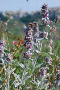 Stachys thirkei