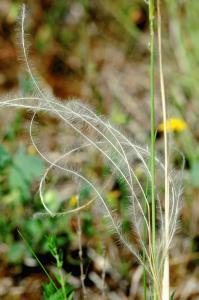 Stipa dasyvaginata subsp. appenninicola
