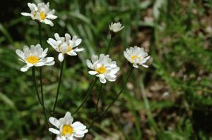 Tanacetum corymbosum subsp. achilleae