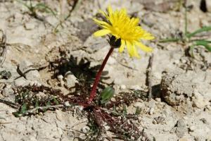 Taraxacum fulvum (gruppo)