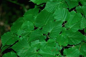 Tilia plathyphyllos subsp. plathyphyllos