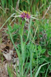 Tragopogon porrifolius subsp. australis