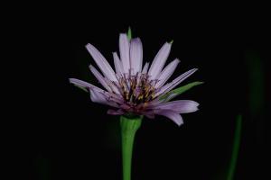 Tragopogon porrifolius subsp. porrifolius