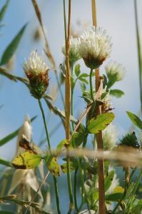 Trifolium alexandrinum