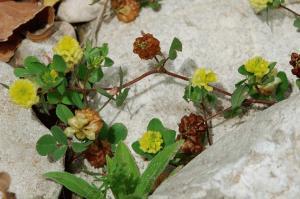 Trifolium campestre subsp. campestre