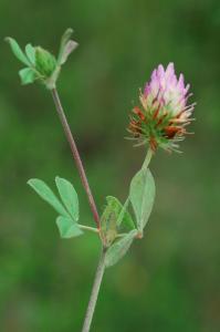 Trifolium echinatum 4