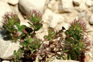 Trifolium lappaceum