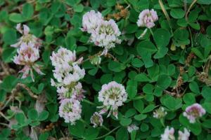 Trifolium repens subsp. prostratum