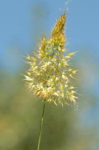 Trisetaria aurea