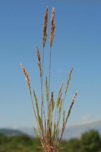 Avellinia festucoides