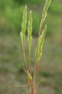 Trisetaria michelii 9