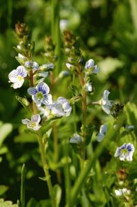 Veronica serpyllifolia subsp. serpyllifolia