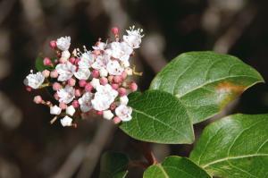 Viburnum tinus subsp. tinus