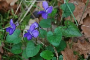 Viola alba subsp. dehnhardtii