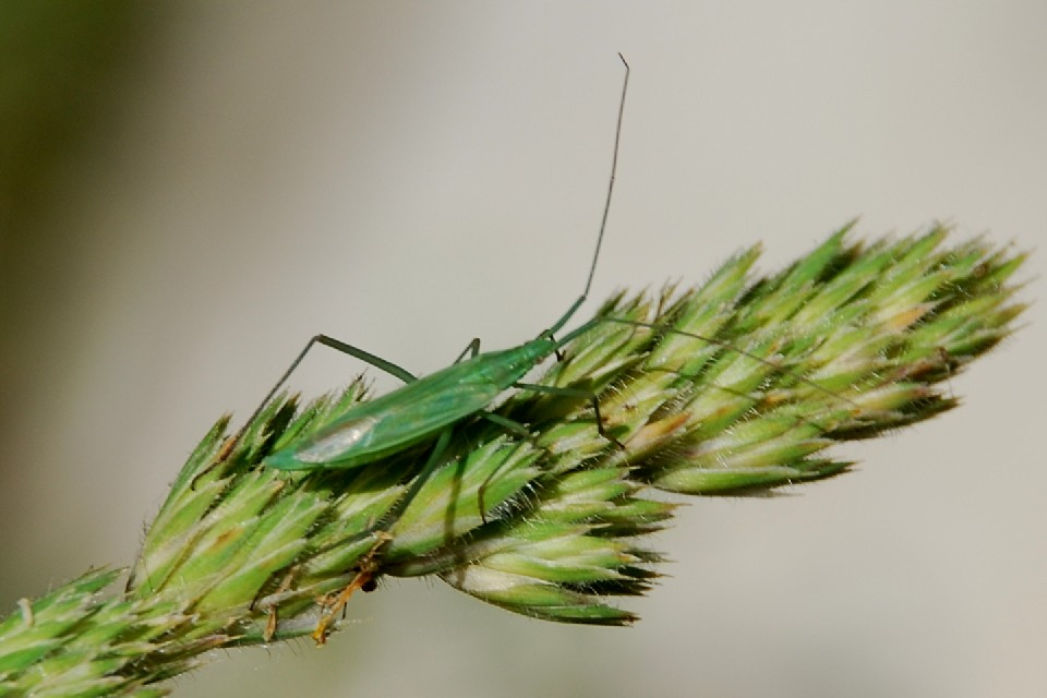 Megaloceroea recticornis - Miridae