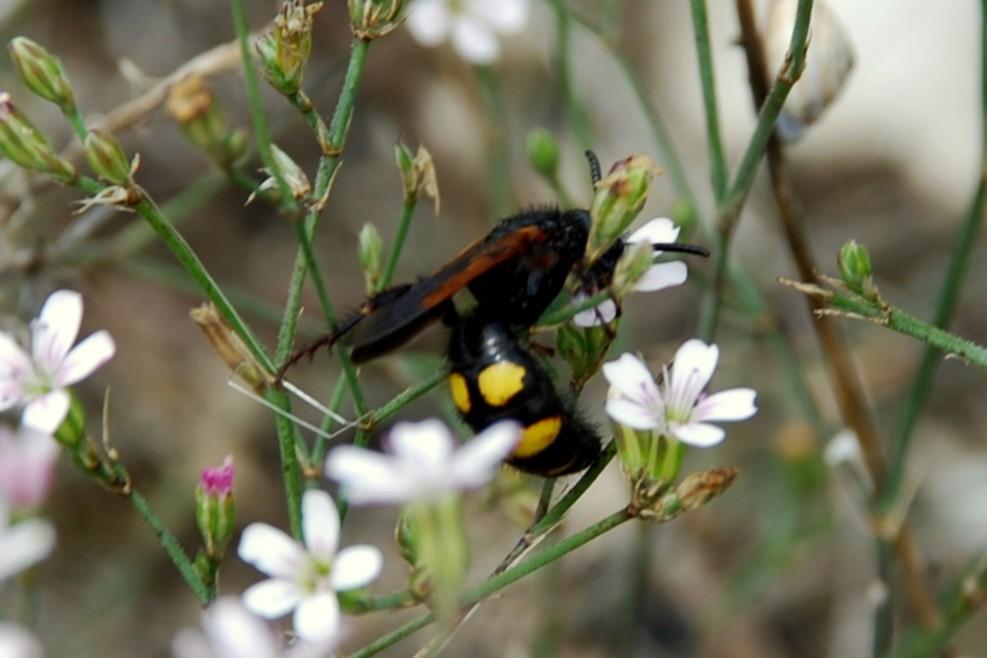 Megascolia maculata flavifrons - Scoliidae