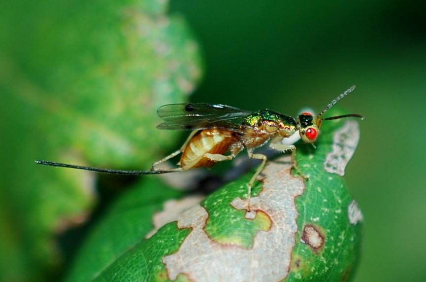 Megastigmus sp. - Torymidae