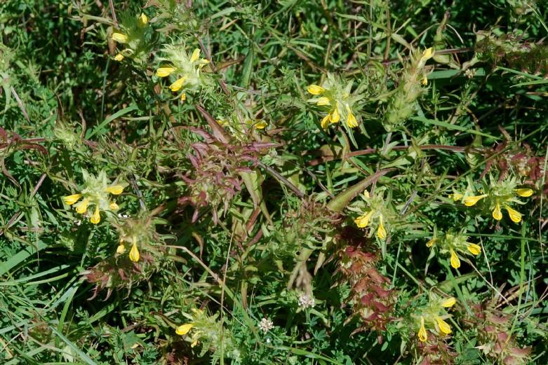 Melampyrum barbatum 10