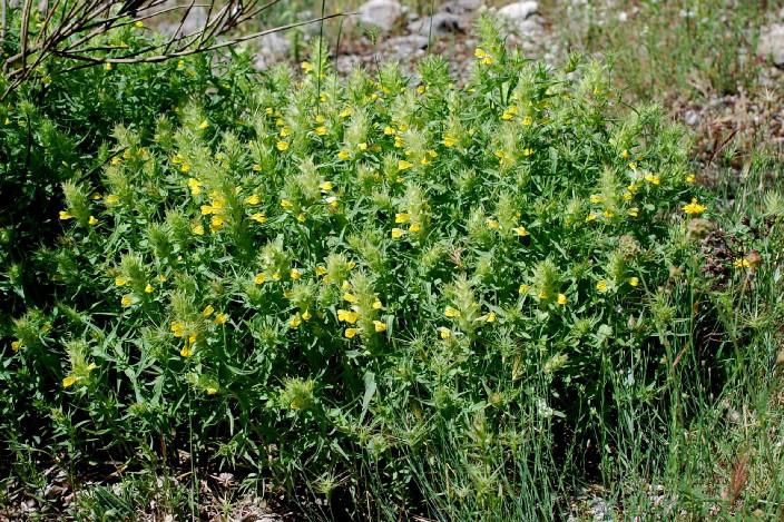 Melampyrum barbatum 14