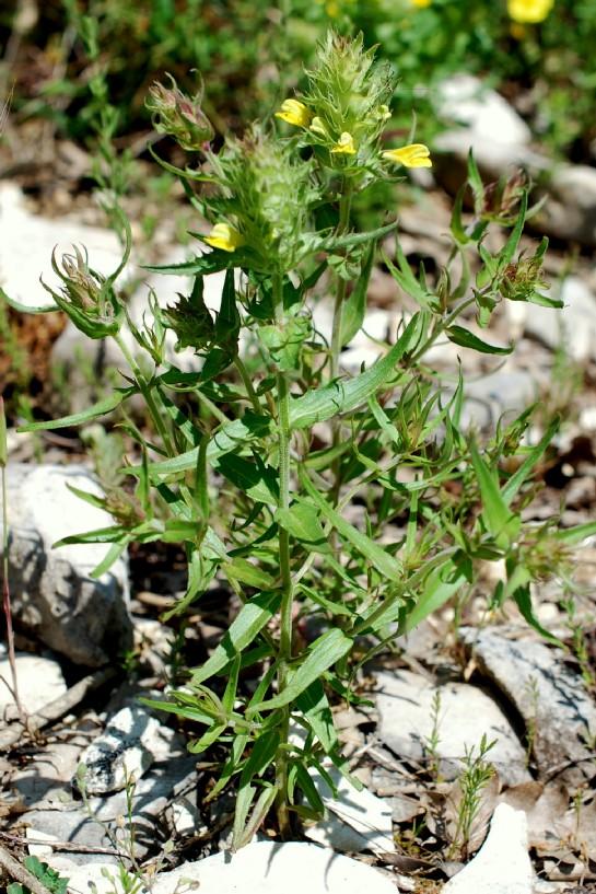 Melampyrum barbatum 15