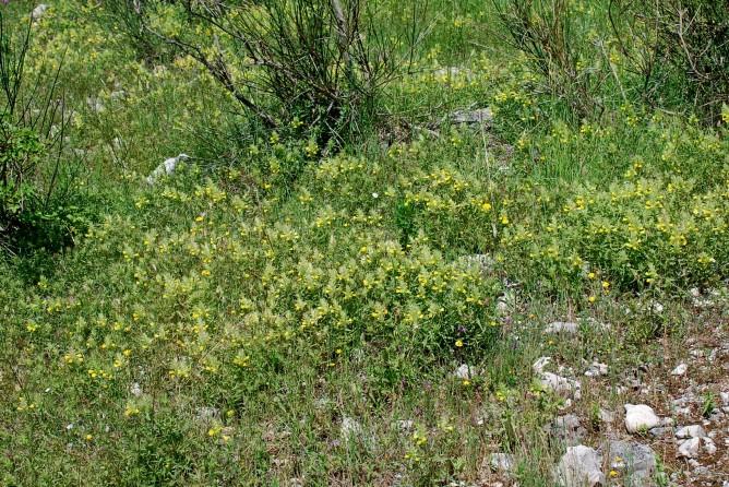 Melampyrum barbatum 19