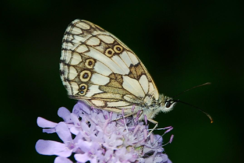 Melanargia galathea - Satyridae