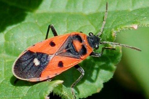 Melanocoryphus albomaculatus -  Lygaeidae