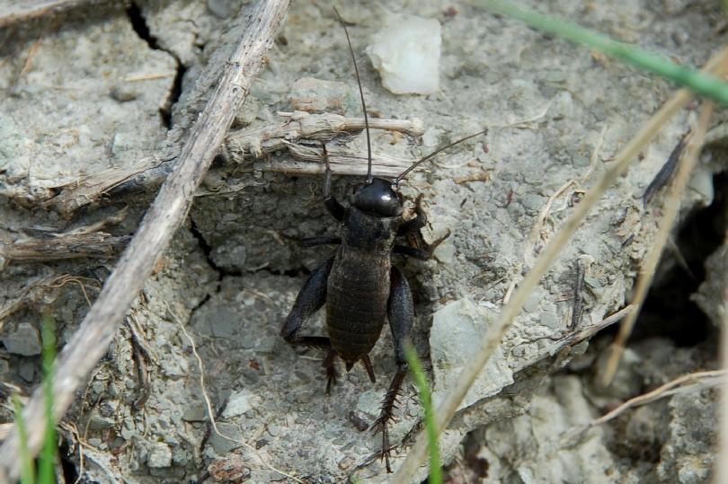 Melanogryllus desertus - Gryllidae