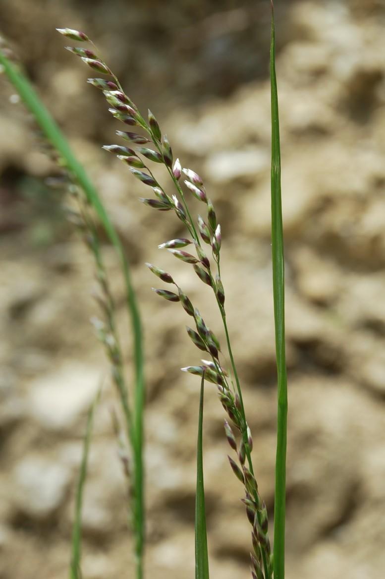 Melica minuta subsp. latifolia 10
