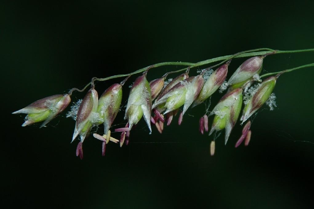 Melica minuta subsp. latifolia 11