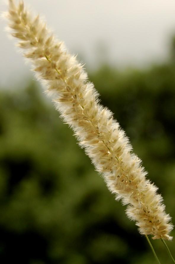 Melica transsilvanica subsp. transsilvanica