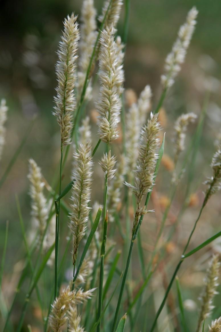 Melica transsylvanica subsp. transsylvanica 10
