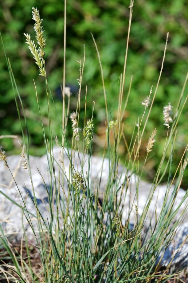Melica transsylvanica subsp. transsylvanica 13