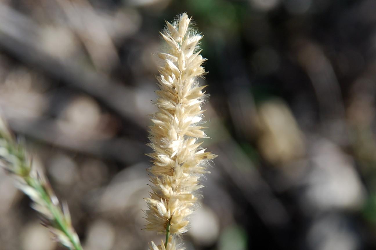 Melica transsylvanica subsp. transsylvanica 16