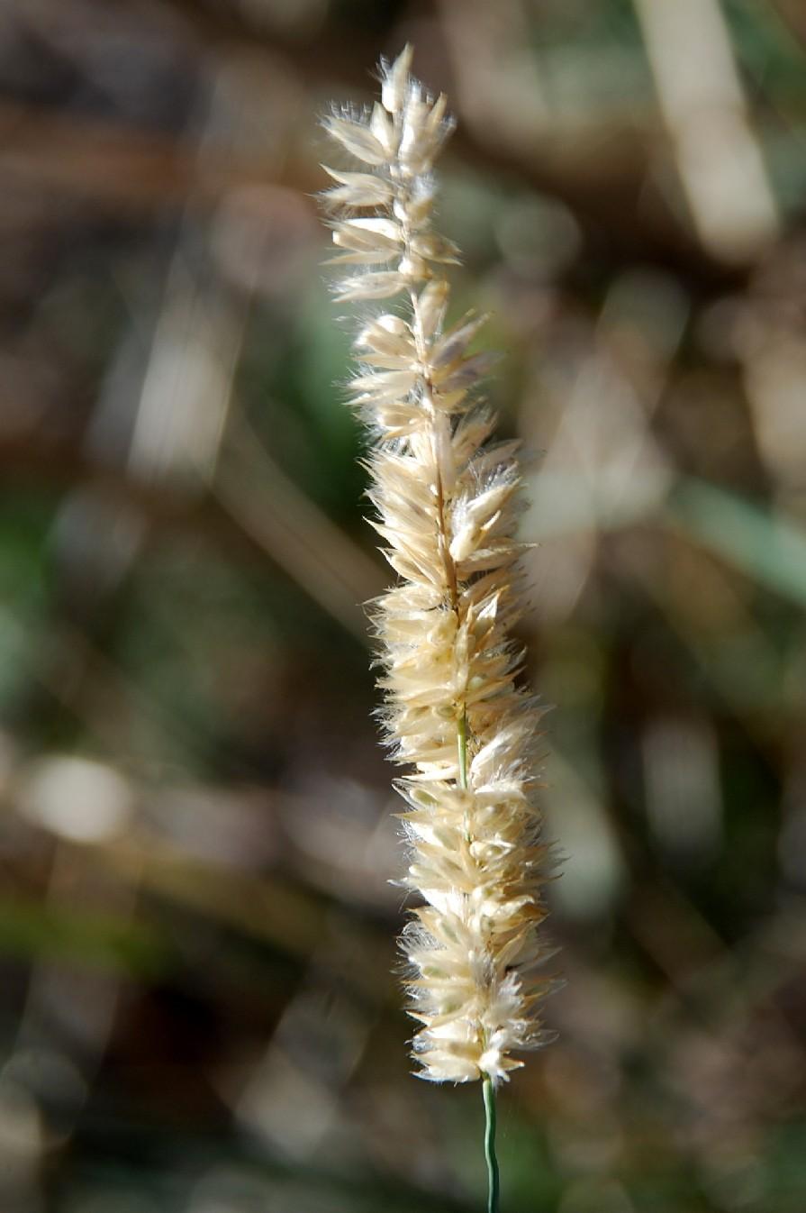 Melica transsylvanica subsp. transsylvanica 17