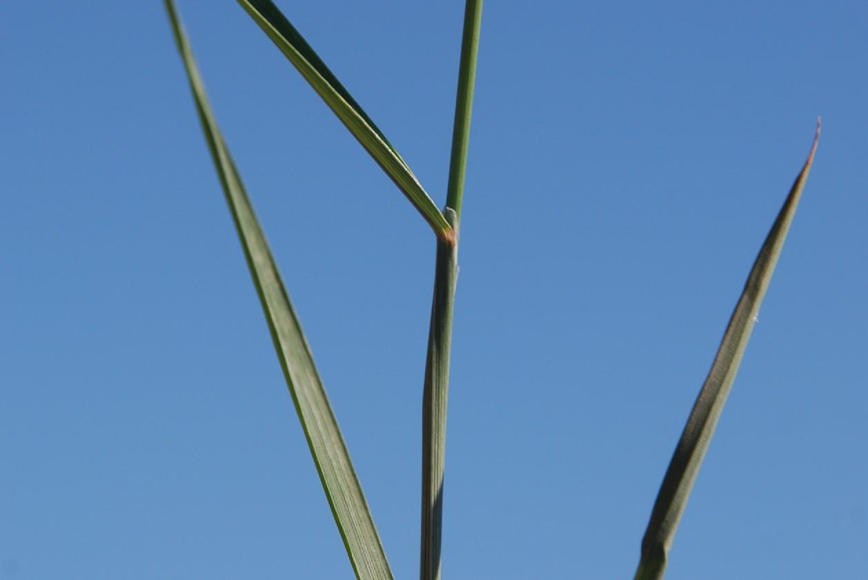 Melica transsylvanica subsp. transsylvanica 19
