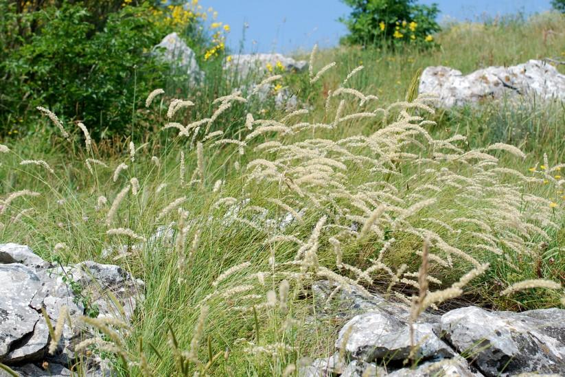 Melica transsylvanica subsp. transsylvanica 22