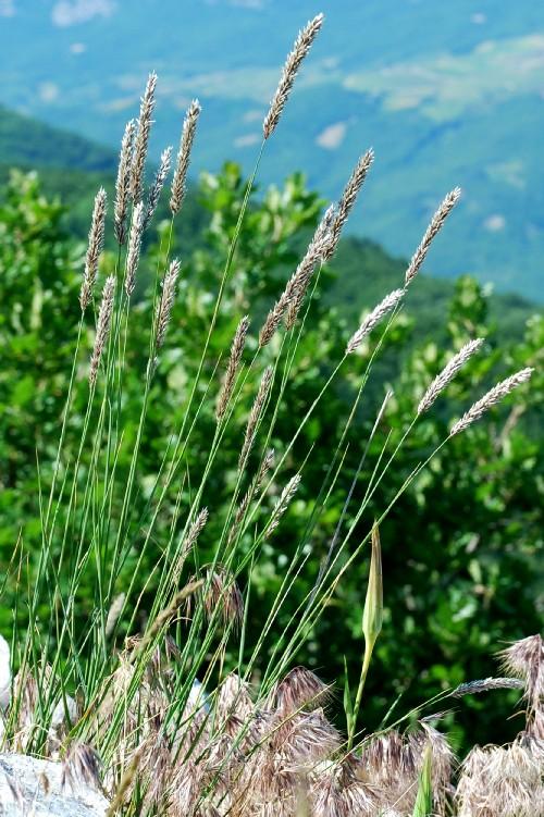 Melica transsylvanica subsp. transsylvanica 5