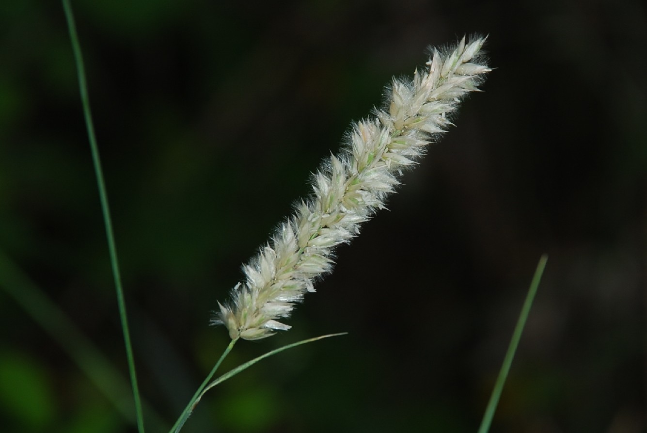 Melica transsylvanica subsp. transsylvanica 7
