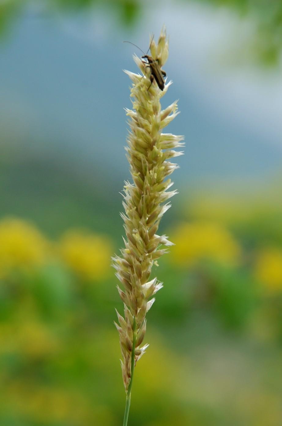 Melica transsylvanica subsp. transsylvanica 9