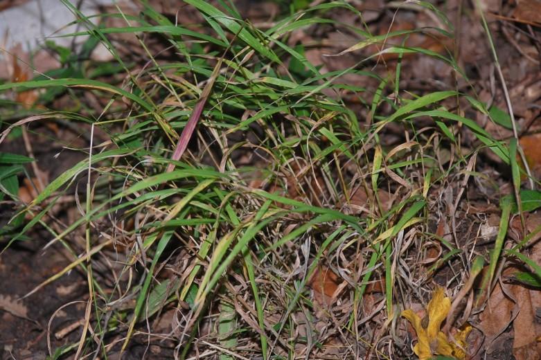 Melica uniflora 12