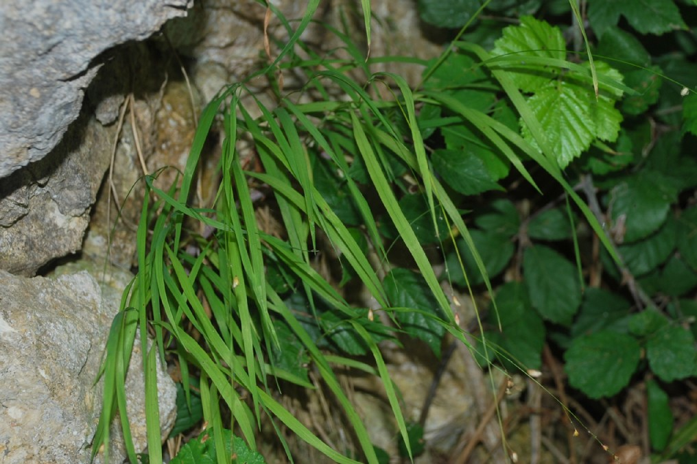 Melica uniflora 14