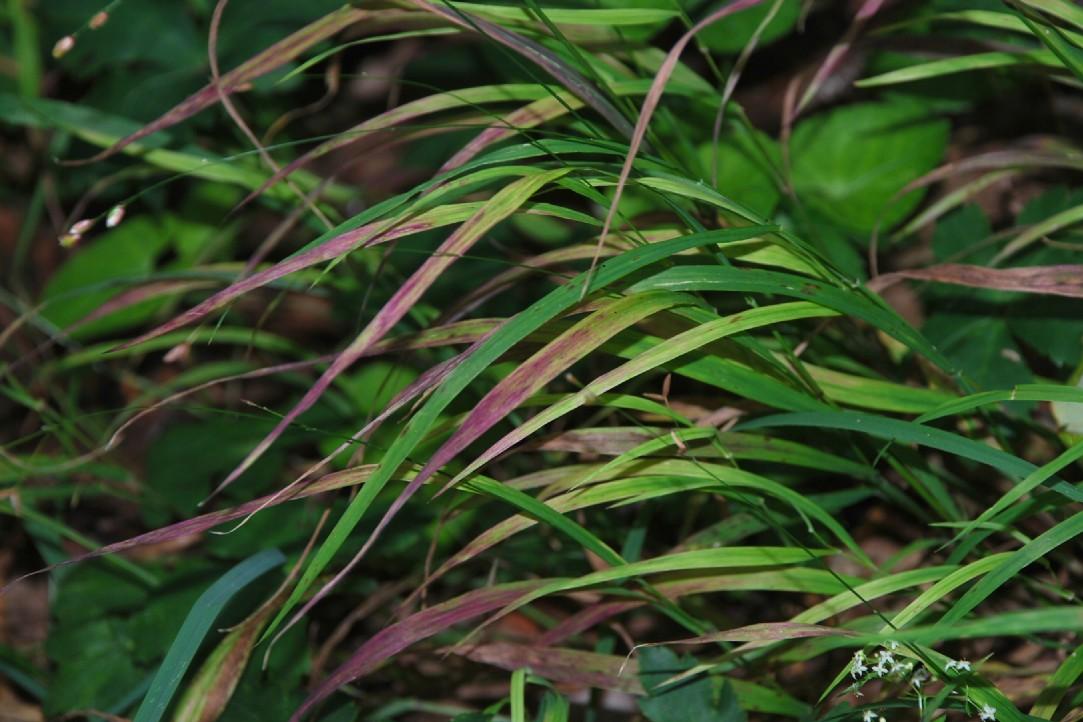 Melica uniflora 16