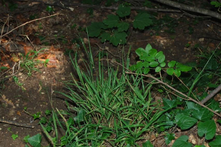 Melica uniflora 17