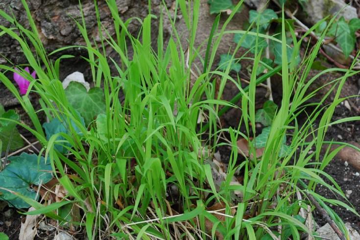 Melica uniflora 4