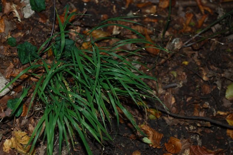 Melica uniflora 6